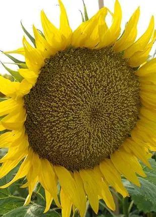 Семена кондитерского подсолнечника  Onyx  N5LM307 Nuseed