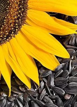 Семена кондитерского подсолнечника  Jaguar XL Nuseed