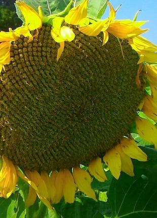 Семена  высокоолеинового подсолнечника H4XM411 Nuseed