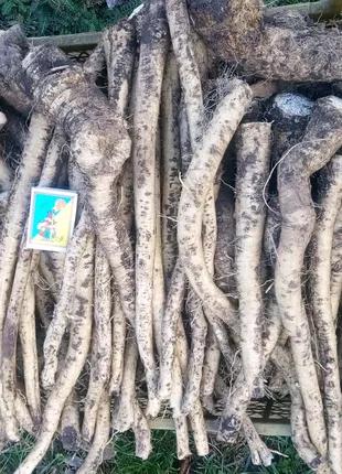 Хрін, хрен, хрон, корінь хрону