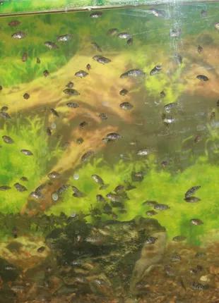 Чернополосые цихлиды.