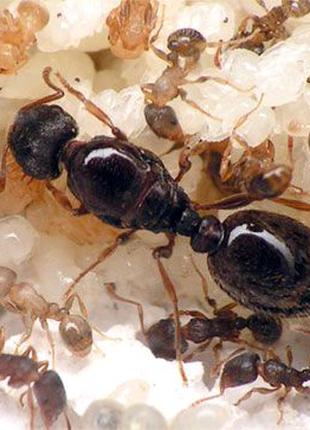 """Муравьи вида """"Tetramorium caespitum"""" - Дерновый муравей."""