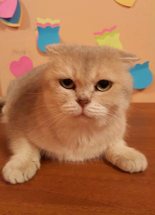 Кошка голубая золотая шиншилла