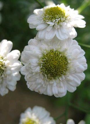 Пиретрум (ромашка, хризантема) низкорослый многолетник