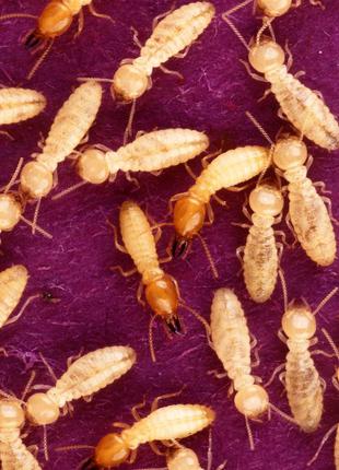 Coptotermes formosanus, термиты. Муравьи