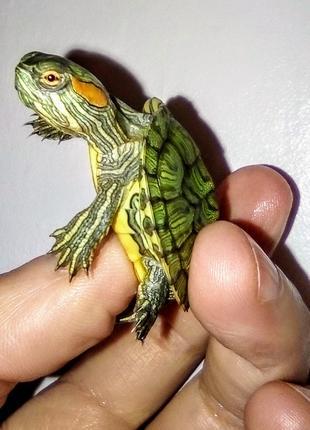ХИТ ПРОДАЖ! Красноухая черепашка - чудо природы с доставкой!