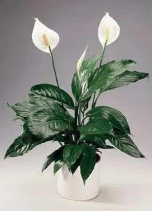 Спатифиллум комнатное растение офисное растение