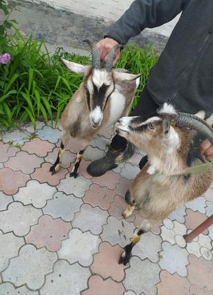 Дві кози молочної породи