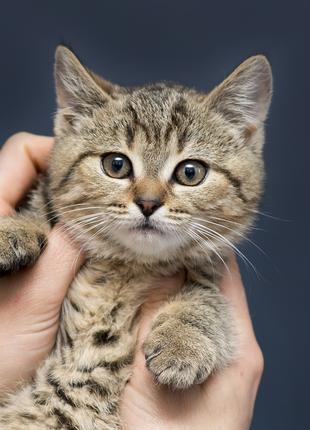 Отдам в хорошие руки очаровательного котенка девочку Бетс