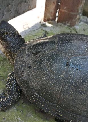 Болотна черепаха