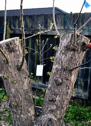 Лікування, відновлення та відтворення старих дерев
