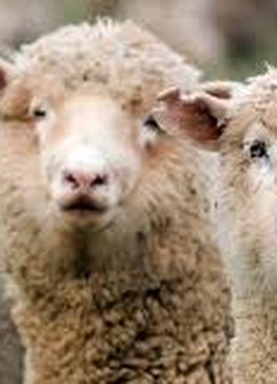 Овцы, бараны также ягнята, баранчиков и ярочек этого года