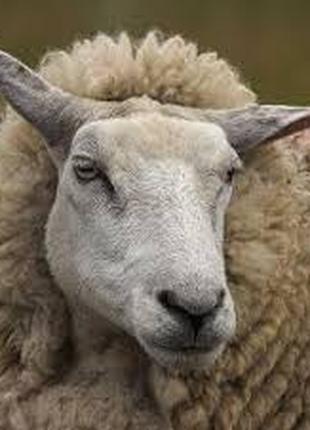 Продам овцы, бараны также ягнята