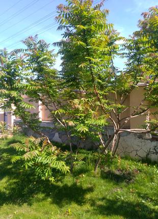 Сумах вергинский уксусное дерево