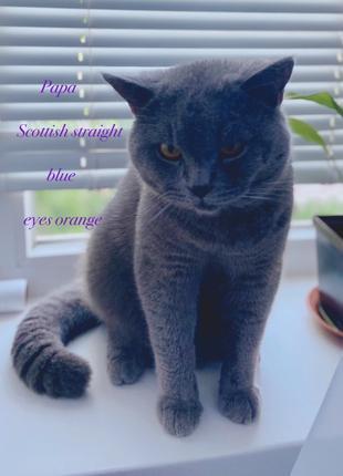 Scottich Straight ищет кошку для вязки