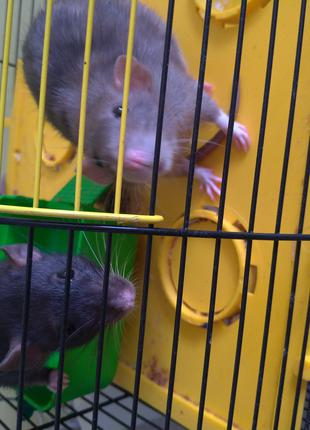 Отдам бесплатно двух крыс дамбо