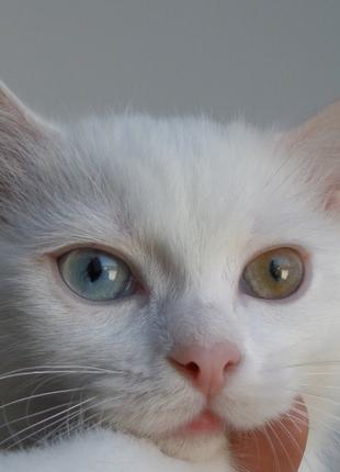 Котёнок с разными глазами