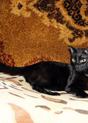 Огромный, добрый, веселый, молодой, ярко черный кот ТАЙСОН, 1,5 г