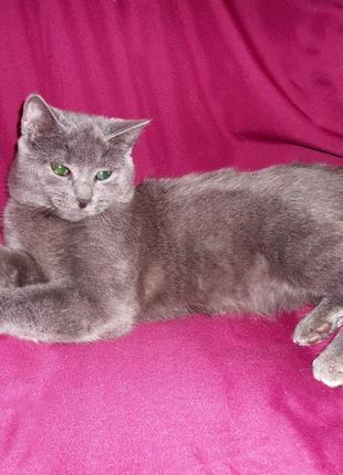 ЧЕЛСИ - русская голубая (метис), котенок-девочка