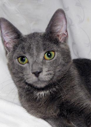 КАМИЛЬ - метис русской/британской голубой кошки; котик мальчик