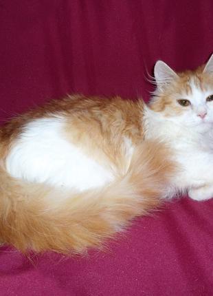 ЗЕМФИРА - котенок-девочка бело-рыжая, пушистая