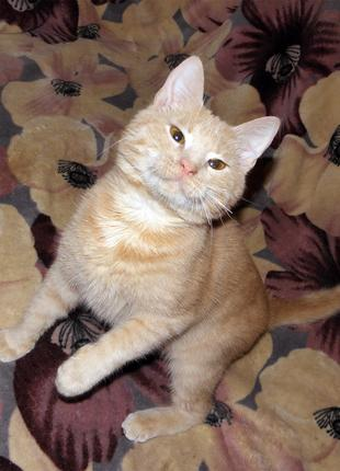 Персиковый котенок АБРИКОСИК, 8,5 мес.