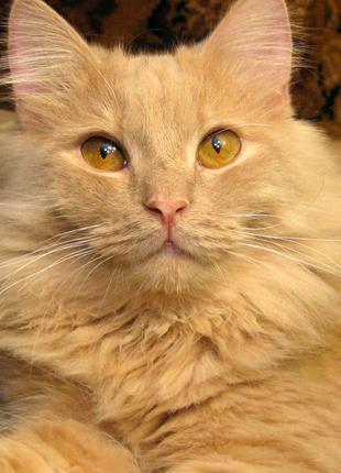 СИМБА - настоящий король лев! Крупный, видный, персиково-кремовый
