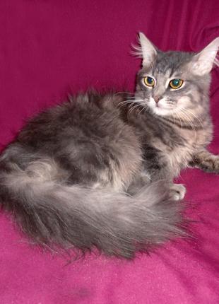 АЛЕКС метис нибелунг/сибирская кошка, ГОЛУБОЙ ПУШИСТЫЙ котенок