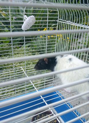 Отдам декоративную крысу