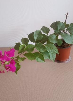 Саженец бугенвилеи с малиновыми цветами, цветет зимой
