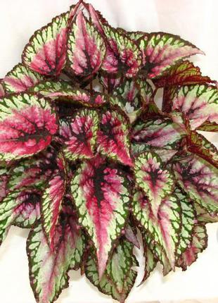 Растение декоративное Бегония