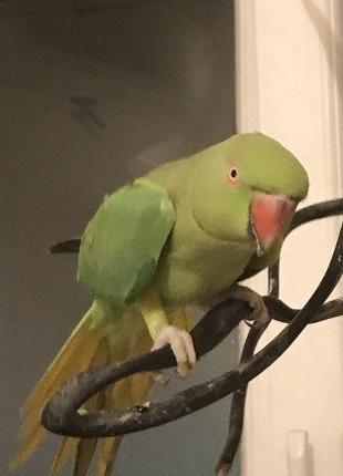 Попугай ожереловый отдам