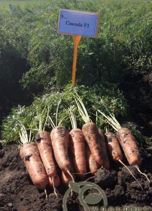 "Морковь ""Канада /Canada"" F1 (2-2,2) 25 000 сем. Бейо (Bejo)"