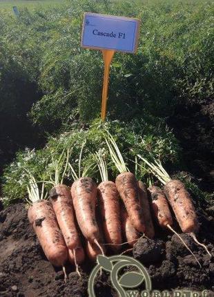 """Морковь """"Каскад"""" F1 (2-2,2 мм) 100 000 с. Бейо, (Bejo)"""