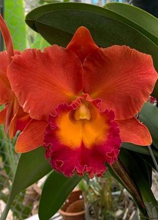 Орхидея Каттлея ароматная