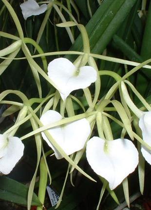 Орхидея Брассавола Нодоза
