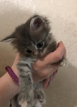 Отдам котёнка- девочка 2 месяца