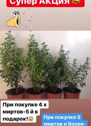 Цветет!Мирт-дерево счастье,цветут