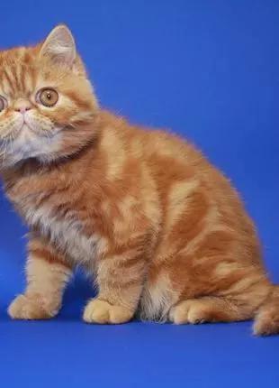 С о л н е ч н ы й - экзотический коротокошерстный котёнок