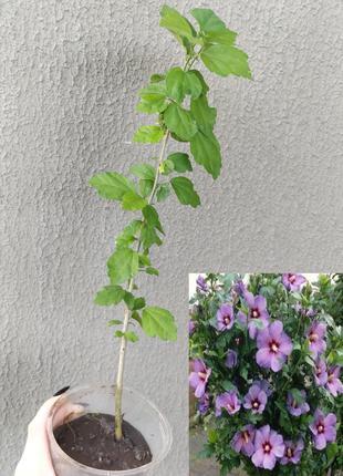 Гибискус сирийский ( садовый древовидный куст) 1шт в горшке