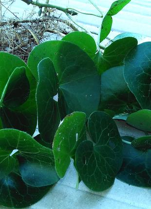 Копытень европейский (саженцы). Почвопокровное растение.