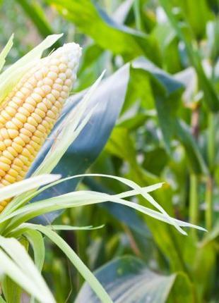 Семена кукурудзы АР18101(Патриция)