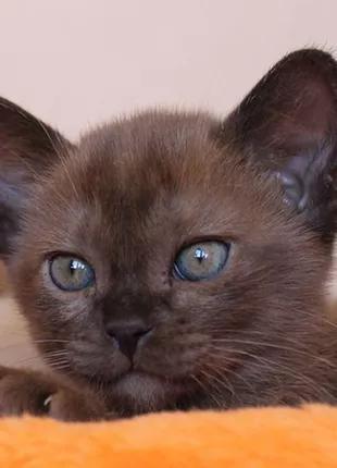Изумительные котята Европейская бурма