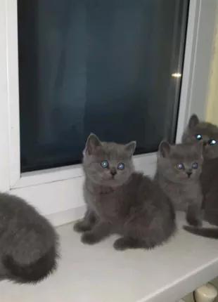 Шотландські котята.( чистокровні)