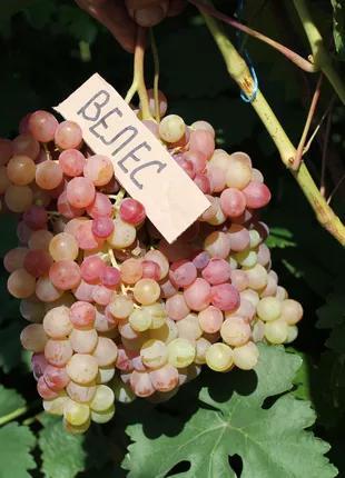Черенки столовых сортов винограда.