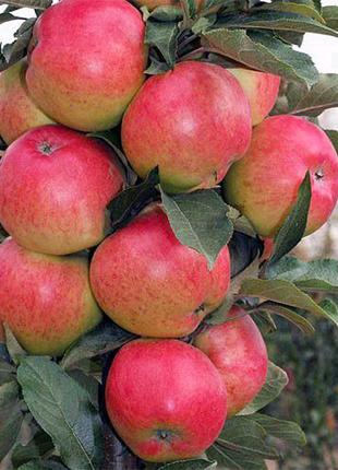Большой ассортимент саженцев яблони.