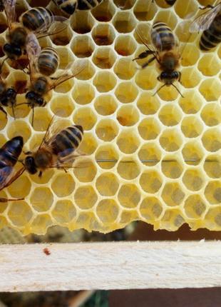 Пчеломатки Украинской Степной и Карпатской пчелы 2019  Плодные !