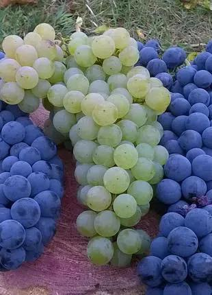 Саженцы и черенки неукрывных технических и стол.сортов винограда