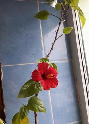 Штамбовая Роза.Гибискус китайский