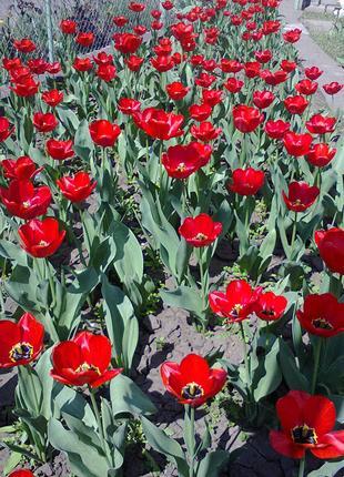 Луковицы тюльпанов красные ранние Парад